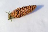 A Pine Cone on Snow — 图库照片