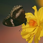 Butterfly on the yellow flower — Stock Photo