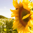 Sunflower and bee — Stock Photo #68157683