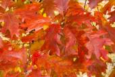 Autumn red oak leaves — Stock Photo