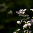 Постер, плакат: White wild flowers chickweed