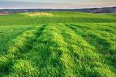 Green young field — Stock Photo