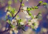 Vintage photo of cherry blossoms — Foto de Stock
