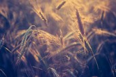 Vintage photo of cereal field — Stockfoto