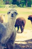 Vintage alpaca portrait — Stock Photo
