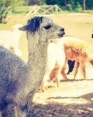Vintage alpaca portrait — 图库照片