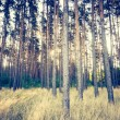 Vintage photo of autumnal pine forest — Stock Photo #68389447