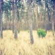 Vintage photo of autumnal pine forest — Stock Photo #68389619