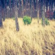 Vintage photo of autumnal pine forest — Stock Photo #68389655