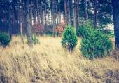 秋季松林的旧照片 — 图库照片