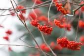 Red rowan berries — Stock Photo