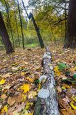 Autumnal forest landscape — Stock Photo