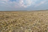 Stubble field after corn — Stock Photo