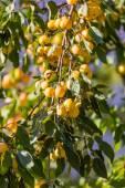 Petites pommes jaunes sur branche — Photo