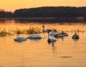 Swan on sunset lake — Stock Photo