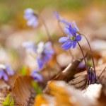 Liverworts flowers — Stock Photo #69486915