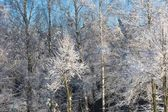 Snow covered trees branches — Stock Photo