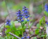 Blooming bugle plants — Stock Photo