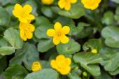 Yellow wild marigolds blooming — Zdjęcie stockowe
