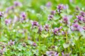 Bugle weed blooming — Stock Photo