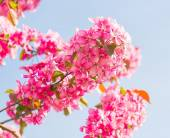 Flowers of a paradise apple-tree — Foto Stock