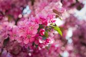 Flowers of a paradise apple-tree — Stock Photo