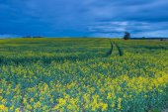 Rape field landscape — Stock Photo