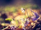 Liverwort flowers blooming — Stock Photo