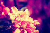 Flowers of a paradise apple-tree — Stock Photo