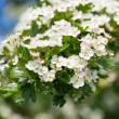 Blooming bush of hawthorn — Stock Photo #73905553