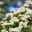 Blooming bush of hawthorn — Stock Photo #73906159