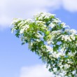 Blooming bush of hawthorn — Stock Photo #73906785