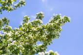 Kvetoucí bush hloh — Stock fotografie