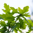Young oak leaves — Stock Photo #75687853