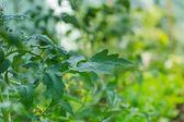Rajčata pěstování ve skleníku. — Stock fotografie