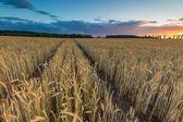 Landscape of corn field at summer sunset — Stock Photo