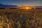 麦片域上的日落 — 图库照片