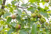 Young apples on branches — Stock Photo