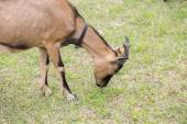 一只山羊,牧场 — 图库照片