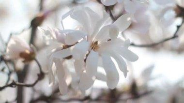 Bílé květy. — Stock video