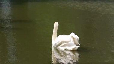 Huge white swan swimming in lake at wonderful summer day — Stock Video