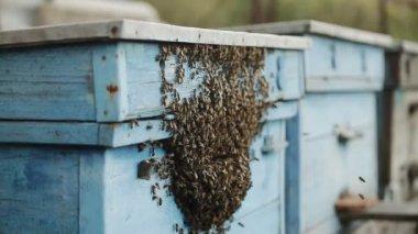 Arılar giriş arı kovanı için çevrilmişti — Stok video