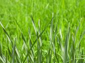 Färsk våren gräs - lager bild — Stockfoto