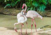 Three pink flamingos. — Stock Photo