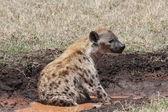 African hyena — Stock Photo