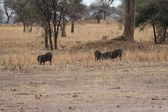 Lions hunting warthogs in the savanna — Stock Photo