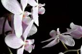 Light purple orchid with water drops — Foto de Stock