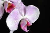 Light purple orchid with water drops — Stock Photo