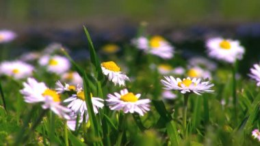 White and yellow flowers, Bellis Perennis (Asteraceae) on green grass background — Stock Video