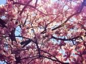 Bloeiende roze magnolia — Stockfoto